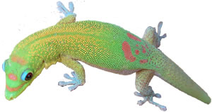gecko3nobackmed